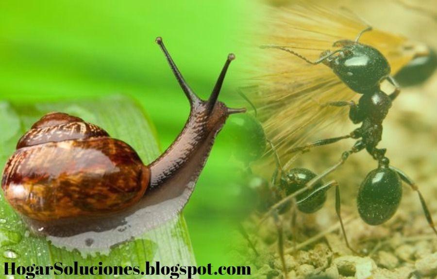 Como eliminar caracoles babosas hormigas y otras plagas del jard n trucos para el hogar - Como eliminar hormigas del jardin ...