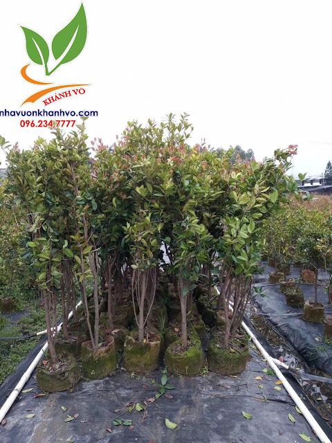 Cherry Brazil loaị cây thích hợp trồng nhiệt đới 54b2bb1e80bb62e53baa_result