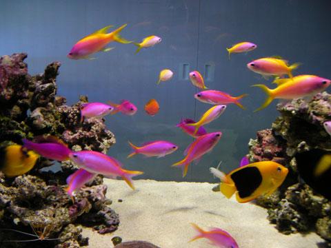 Peces de acuario la primera mascota ideal for Peces para acuario