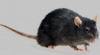 تفسير رؤية الفئران في المنام بالتفصيل