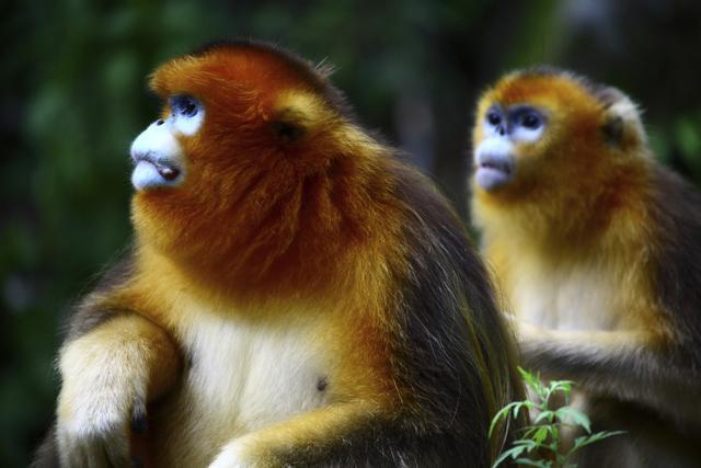 El mono sin nariz de Birmania