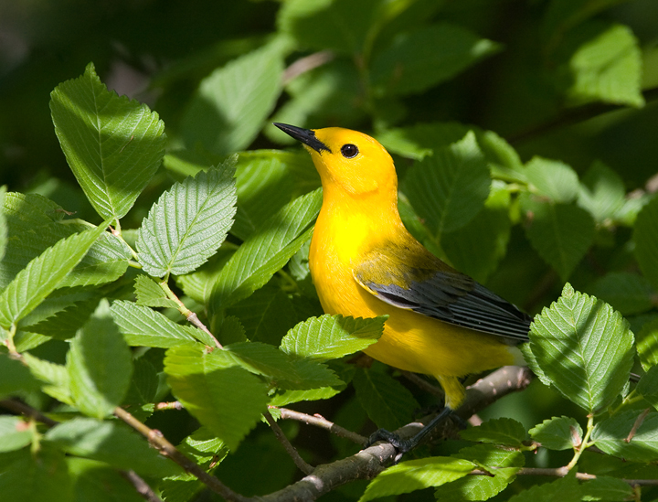 Mid Atlantic Nature: A Birders Guide to Somerset County, MD