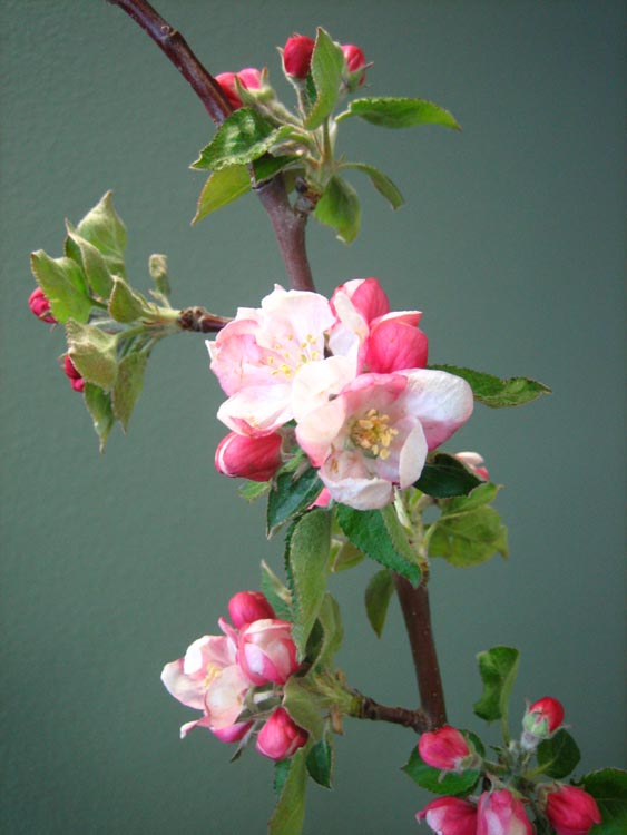 inkspired musings: Apple Blossom Promises