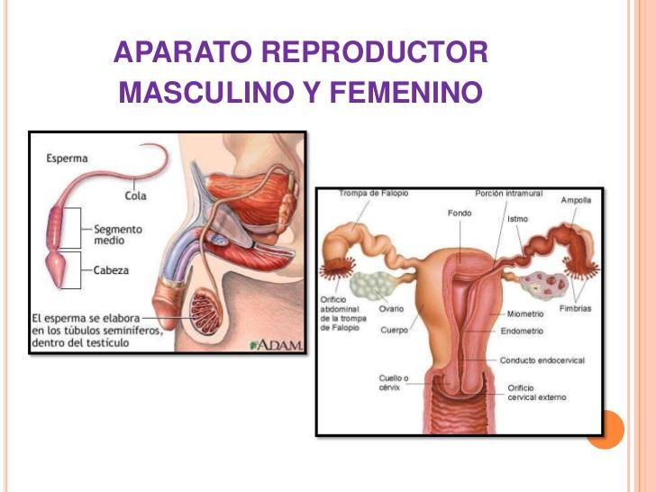 importancia de conocer el funcionamiento del aparato reproductor del