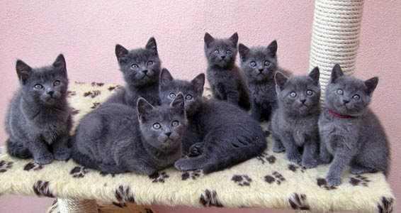 gato-chartreux-cartujo-comportamiento-personalidad