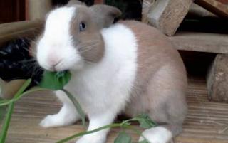 Selain Kelinci lokal yang biasa nya di manfaatkan dagingnya maka untuk kelinci hias muncu Kabar Terbaru- PELUANG USAHA KELINCI AUSTRALIA