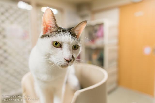 キャットタワーの上でキリッとした表情をした国分寺シェルターの猫の写真