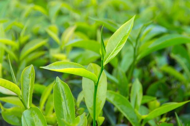Tea Tree Oil Benefits : टी ट्री आयल के फायदे