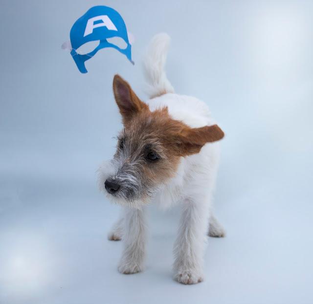 Jack Russell Terrier Criadero Los Guanes