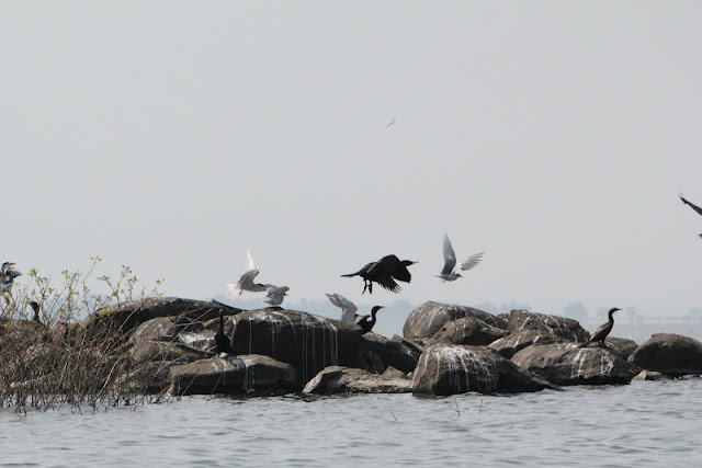 Birds on the rock, KRS backwaters, Mysore