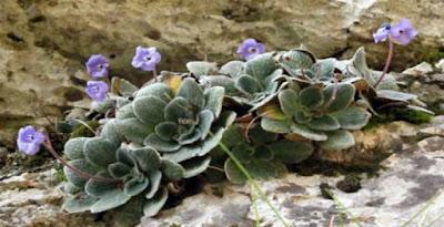 «Γιάνκεα» Το λουλούδι που φυτρώνει αποκλειστικά στο Βουνό των Θεών