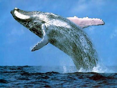 Humpback+Whale+%2528Paus+Bungkuk%2529 10 Migrasi Hewan paling Unik di Dunia
