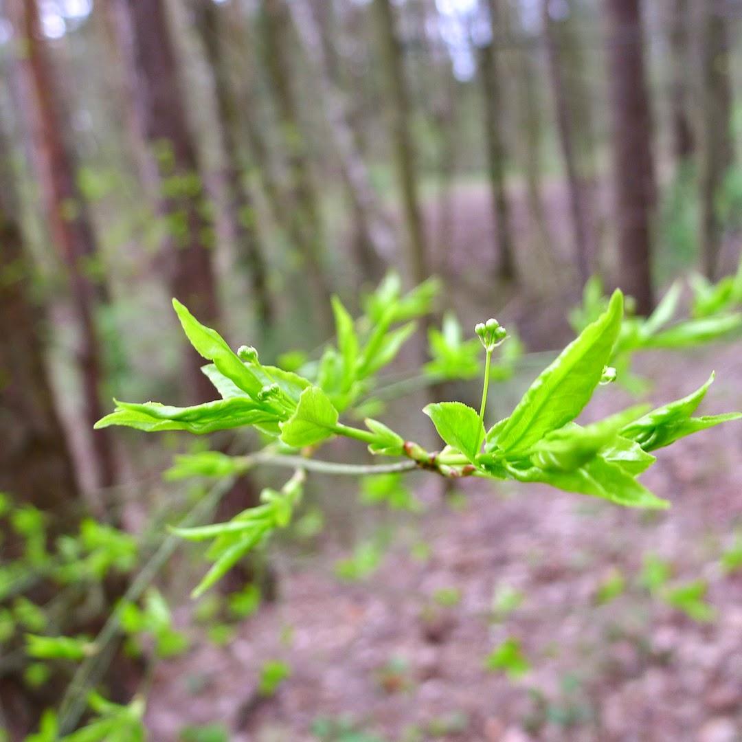 Jauni medžių lapai Sapieginės kalvose