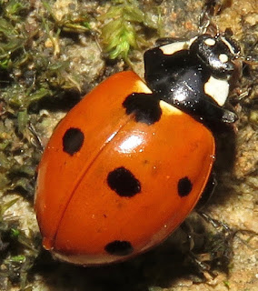 Coccinella septempunctata, Seven-spotted Lady Beetle