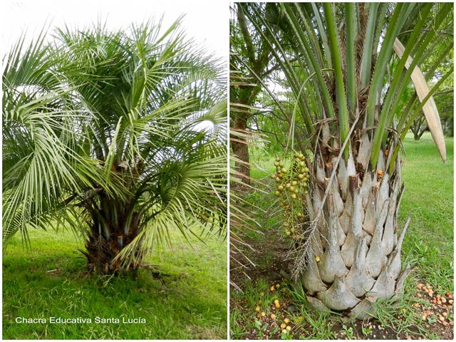 Ejemplares de palmera butiá - Chacra Educativa Santa Lucía