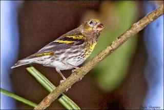 Burung Kenari Tidak Termasuk Katagori Hewan Langka dan Dilindungi