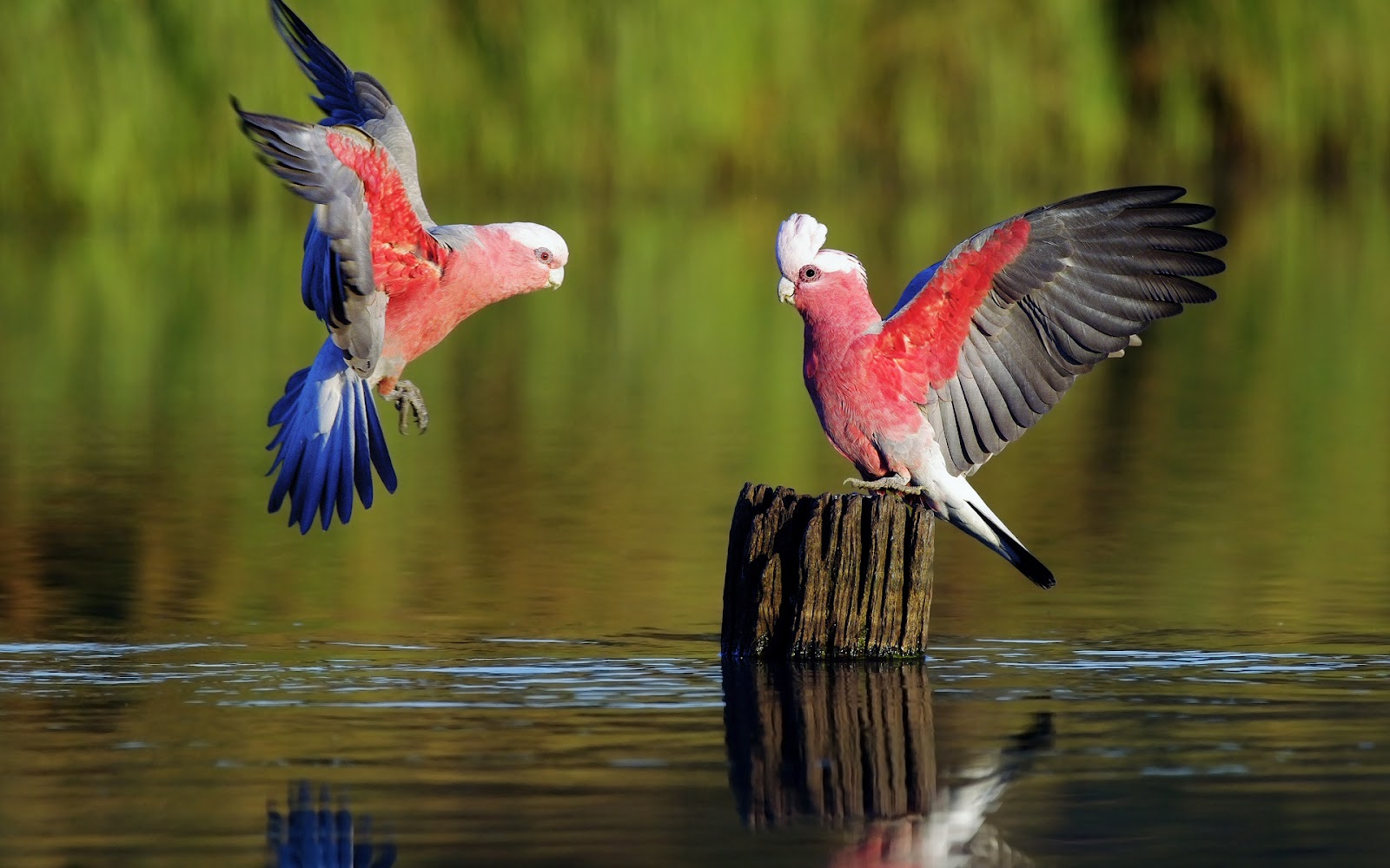 Love Birds Hd Wallpapers And Images Free Download: AVES EXOTICAS: Febrero 2013