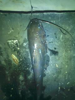 ikan target pasiran-ikan surung