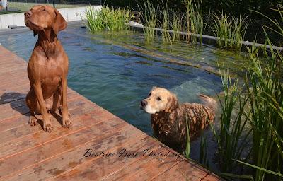 Hunde am Schwimmteich