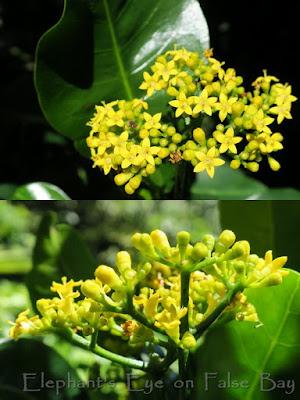 Psychotria capensis lemoenbos