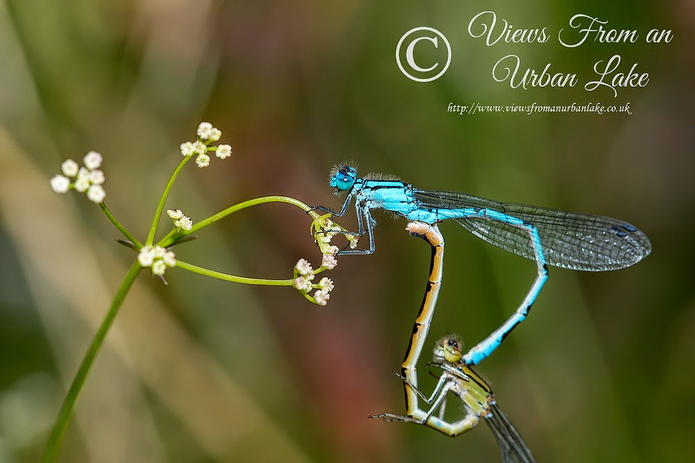 Common Blue Damselfly mating - Lodge Lake, Milton Keynes