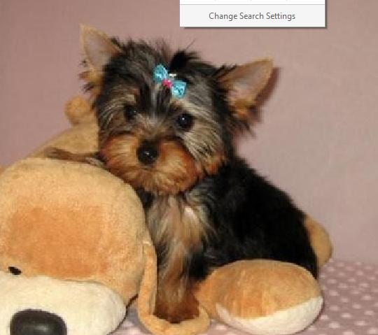 Morkie Puppies Oklahoma