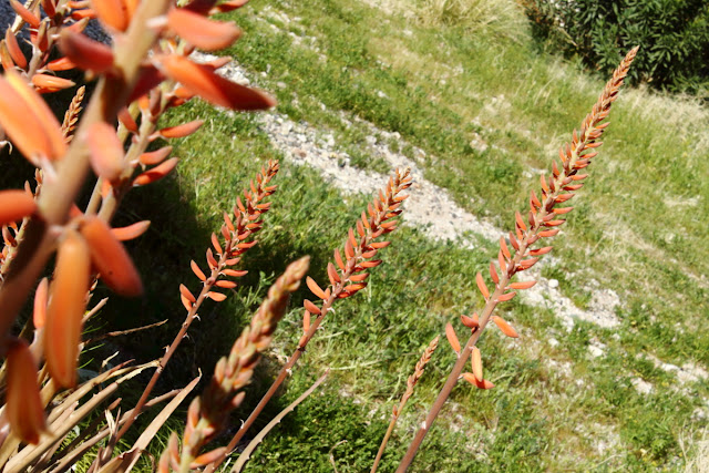 An image of Red Aloe Vera Inflorescence