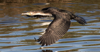 Cormorant in Flight Woodbridge Island, Cape Town (Canon EOS 7D Mark II)