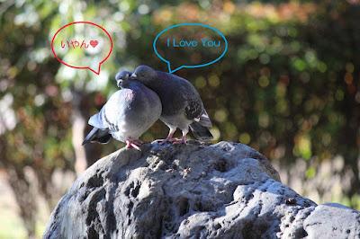 徳生公園のラブラブ鳩ちゃん