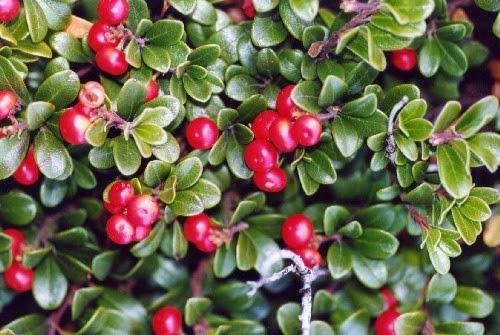 uretrite da proteus mirabilis plant