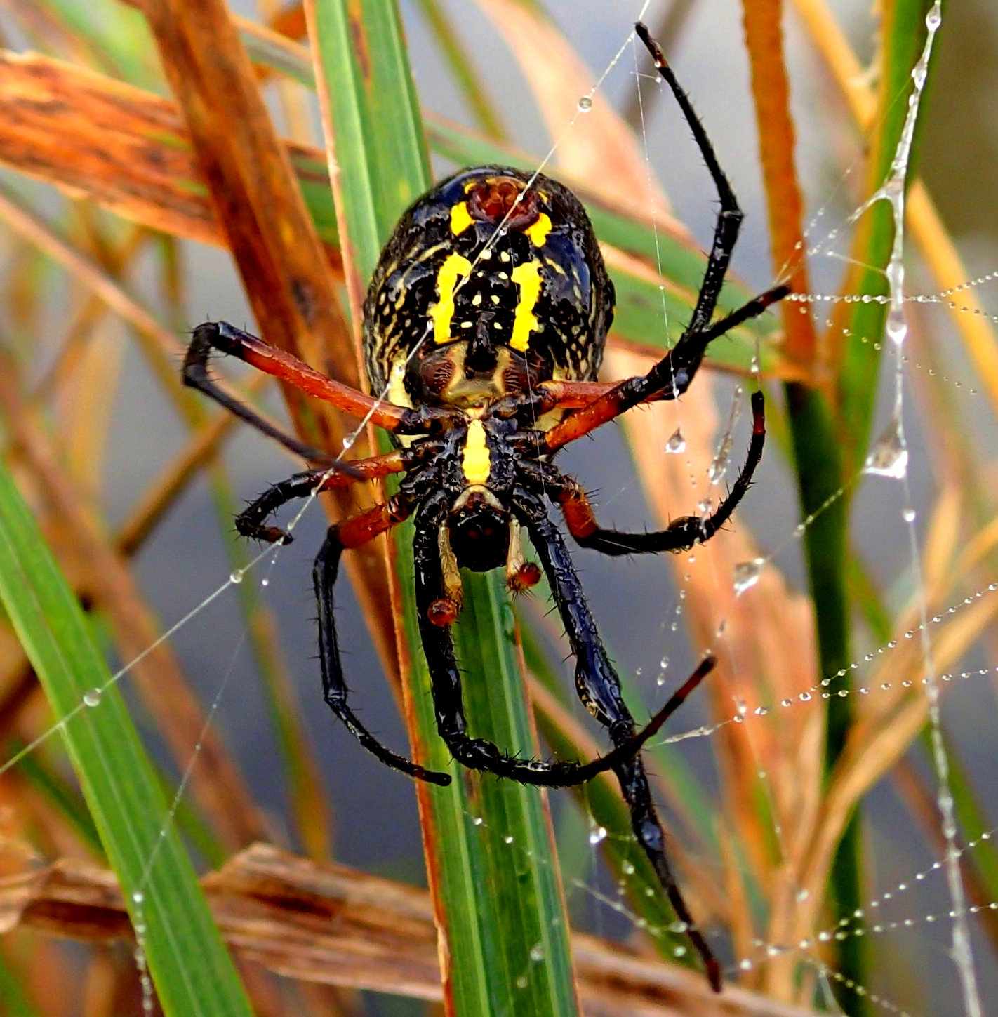 Yellow And Black Garden Spiders