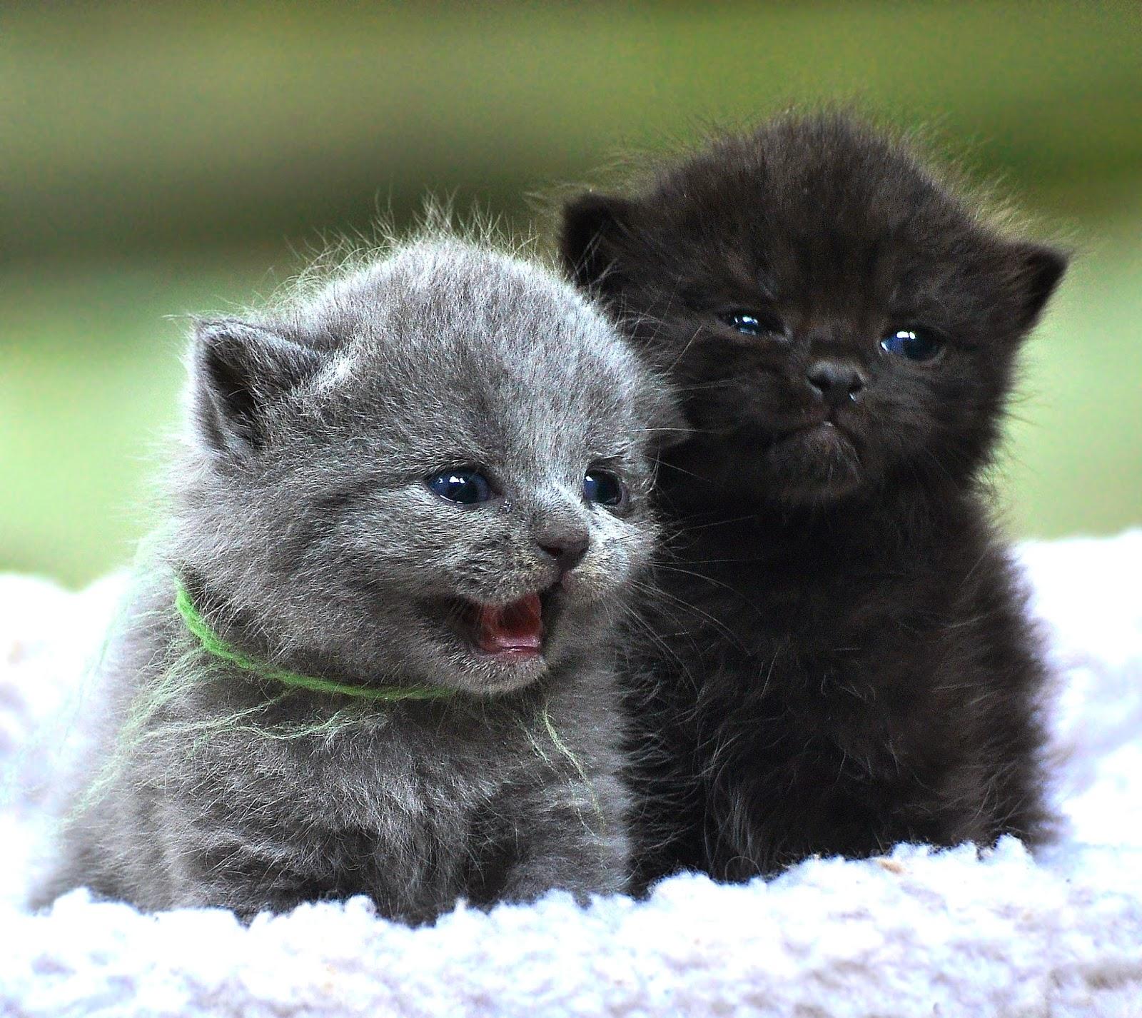 Perkembangan Kucing Pada Usia 4 – 7 Bulan
