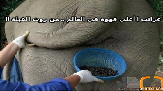 غرائب | أغلى قهوة فى العالم .. من روث الفيلة !!