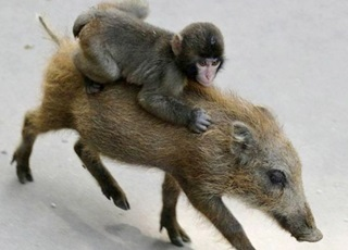 Monkey escapes on a wild Boar – FUNNY VIDEO