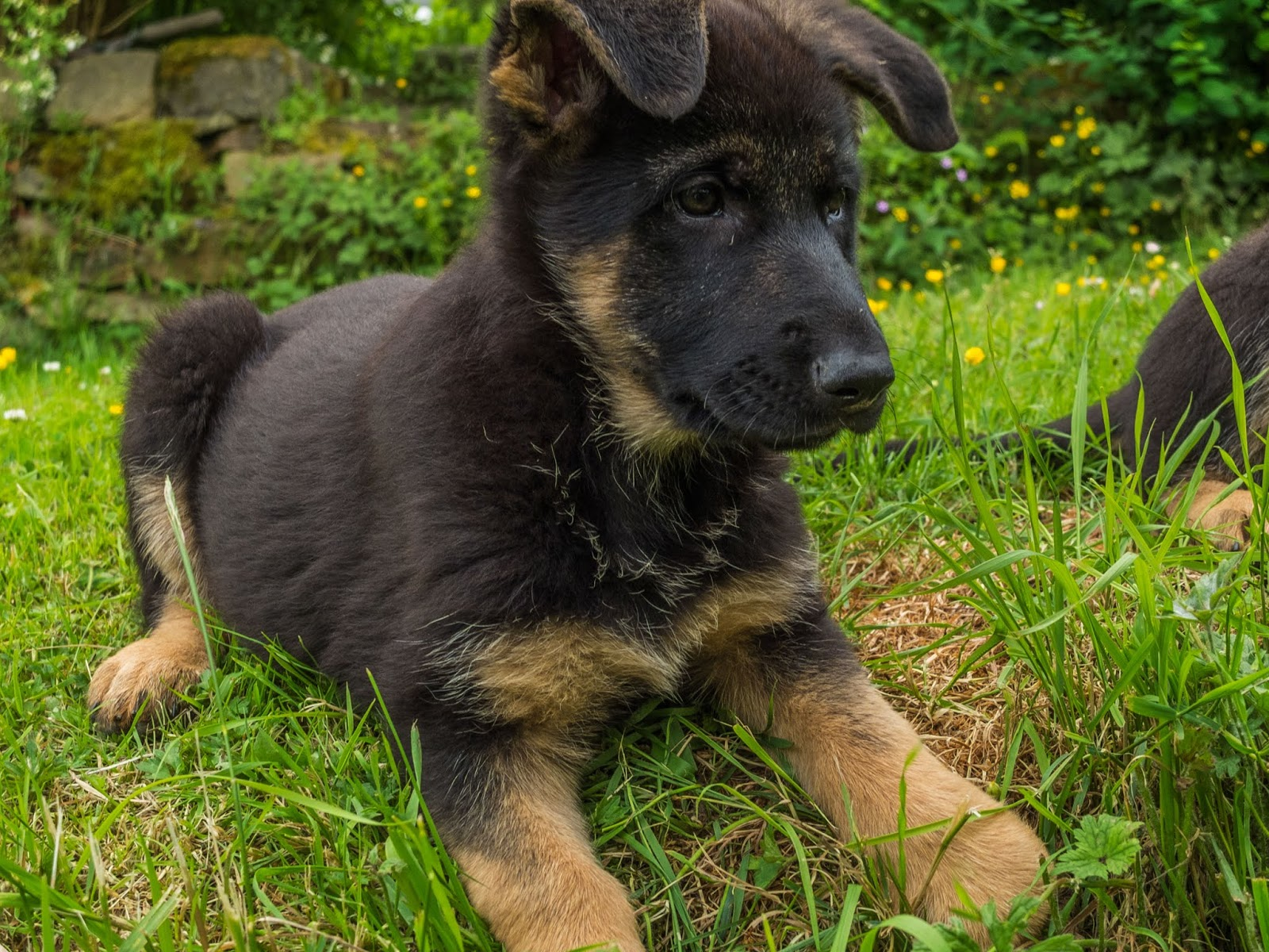 A German Shepherd puppy hanging over a grassy embankment with her ears forward and down.