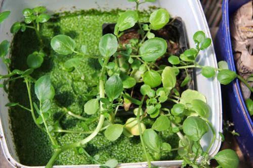 Mudflower: How to grow Water Cress