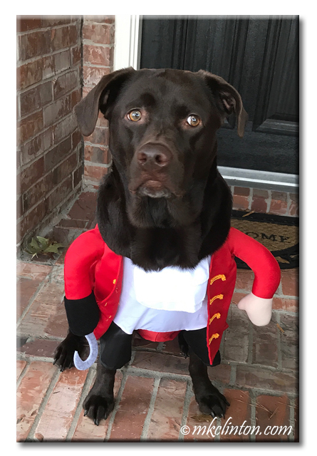 Chocolate Lab dressed as Capt. Hook. copyright 2017