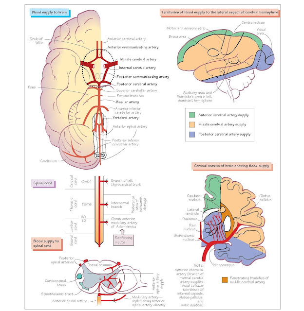 Blood Supply To The Central Nervous System