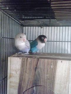 Pakan lovebird ternak dan anakan yang murah dan berkualitas
