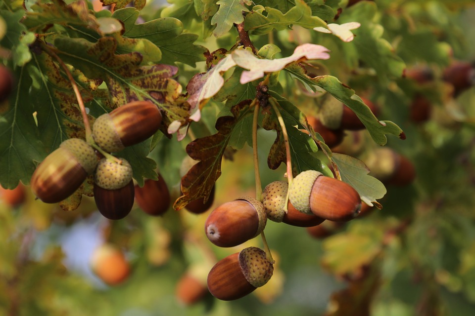 Stories From The Wigwam Medicinal Monday Acorns Naturally