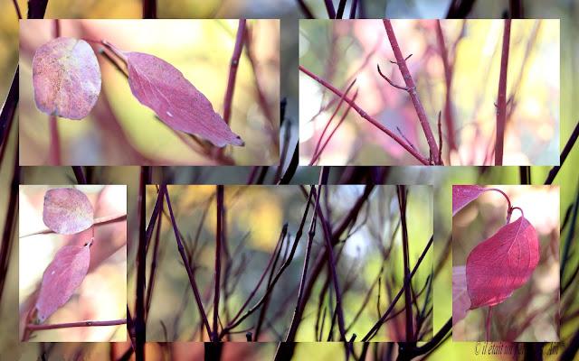 arbuste caduc bois et feuilles rouges cornus alba sibirica