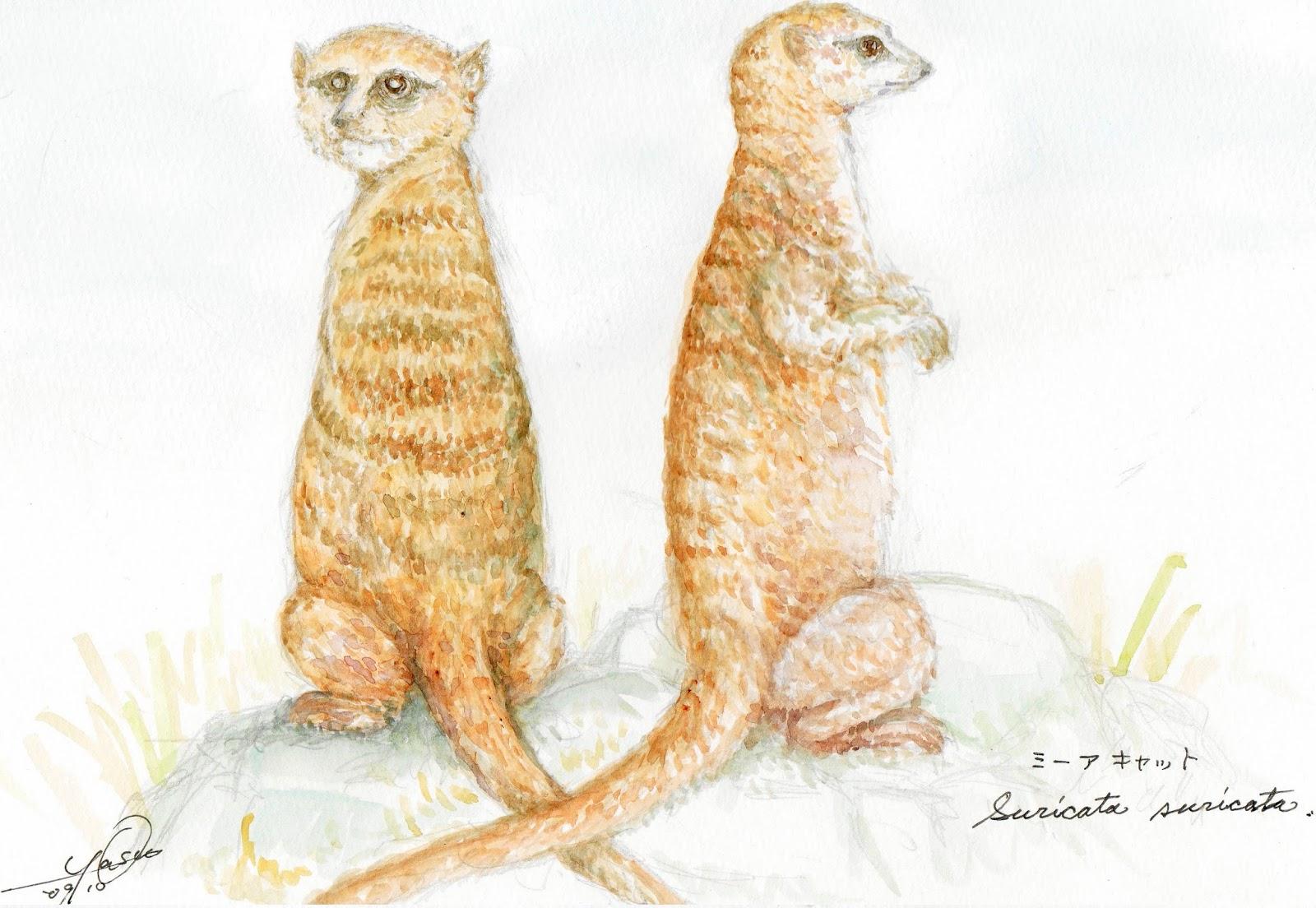 やっちゃんのネコと動物イラスト ミーアキャット別名スリカータ