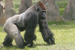 Gorila andando