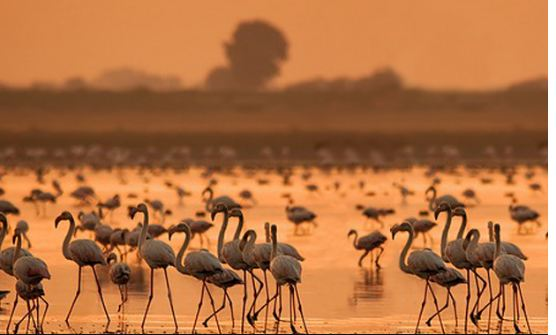 flamingo birds in kutch