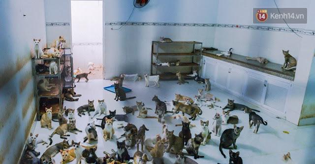Đàn mèo hoang gần 200 con của bà Chi.