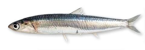 Hamsi balığının yandan görünüşü