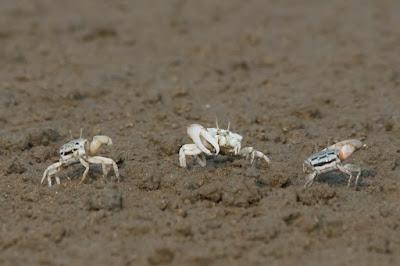 Fiddler Crab (Uca sp)