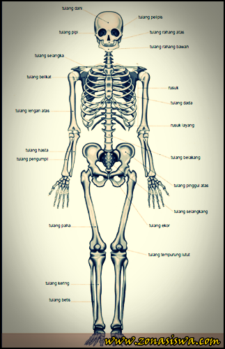 Sistem Gerak Manusia, Tulang, Jenis-jenis Tulang, Fungsi Tulang, Tulang Rawan, Tulang Sejati, Bentuk Tulang, Tulang Pipih, Tulang Pendek, Tulang Pipa, Tulang tak Berbentuk, Susunan Tulang, Tulang Tengkorak, Tulang Belakang, Tulang Dada, Tulang Rusuk, Sendi.