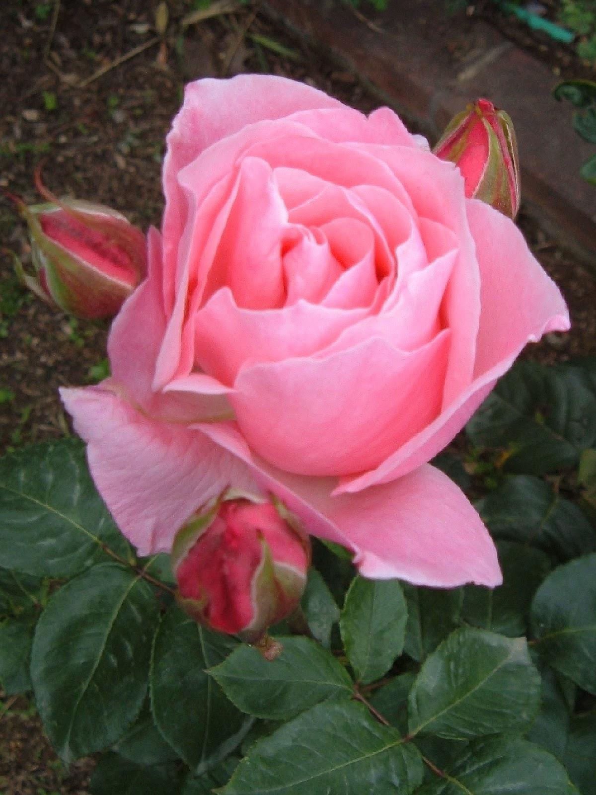 Fotos de flores rosas de varios colores - Rosas rosas hermosas ...