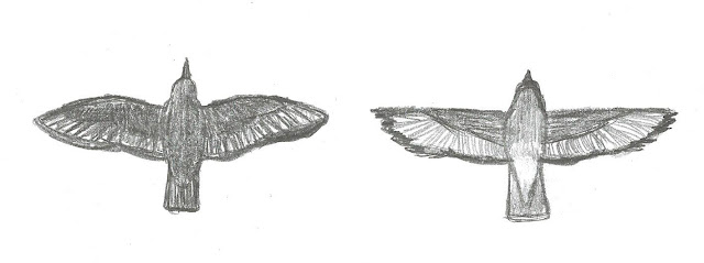 Figure 20: Flight shapes of European Starling (left) and Cedar Waxwing (right). Purposely not to scale (the Starling in life is slightly larger).